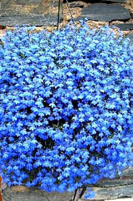 Фото-семена Лобелия ампельная Regatta Sky Blue (Multi Pelleted)