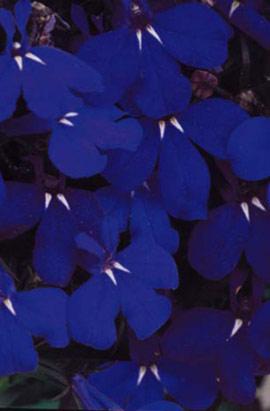 Фото-семена Лобелия ампельная Regatta Midnight Blue (Multi Pelleted)