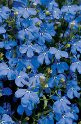 Фото-семена Лобелия Riviera Blue Sky (Multi Pelleted)