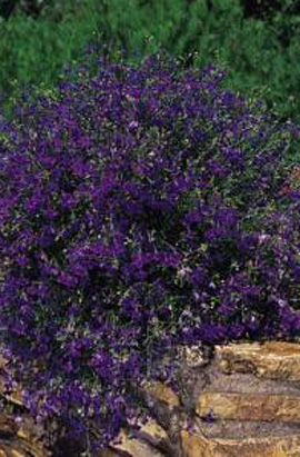 Фото-семена Лобелия Riviera Marine Blue (Multi Pelleted)