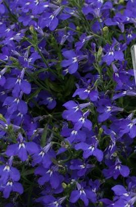 Фото-семена Лобелия ампельная Regatta Marine Blue  (Multi Pelleted)