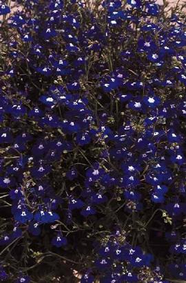 Фото-семена Лобелия ампельная Regatta Sapphire (Multi Pelleted)