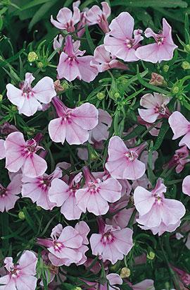 Фото-семена Лобелия Riviera Lilac (Multi Pelleted)