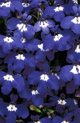 Фото-семена Лобелия Riviera Blue Eyes (Multi Pelleted)