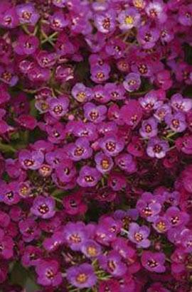 Фото-семена Алиссум(Лобулярия) Easter Bonnet  Lavender