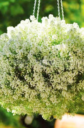 Фото-семена Алиссум(Лобулярия) Clear Crystal White  (Multi Pelleted)
