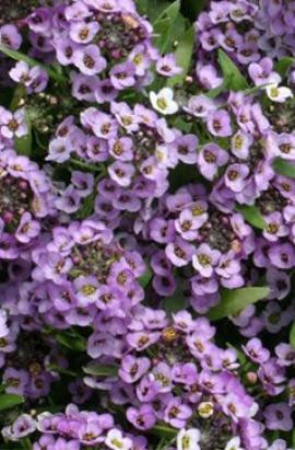 Фото-семена Алиссум(Лобулярия) Wonderland™: Blue(недраж.)