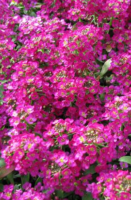 Фото-семена Алиссум(Лобулярия) Wonderland™: Deep Rose(недраж.)