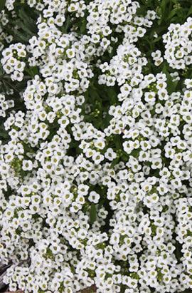 Фото-семена Алиссум(Лобулярия) Wonderland™: White(недраж.)