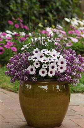 Фото-семена Алиссум(Лобулярия) Clear Crystal® Purple Shade (Multi Pelleted)