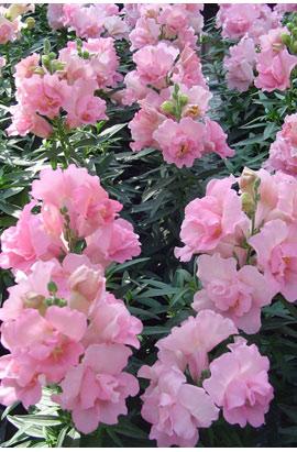Фото-семена Львиный зев Твинни (Twinny) F1  Rose