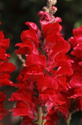 Фото-семена Львиный зев Overture II:  Red