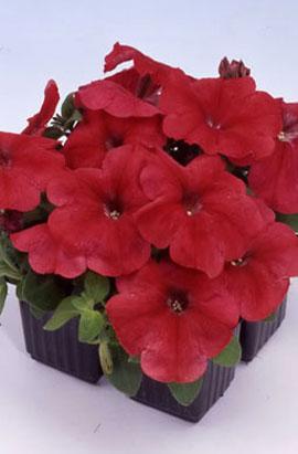 Фото-семена Петуния мультифлора Mambo F1 Red