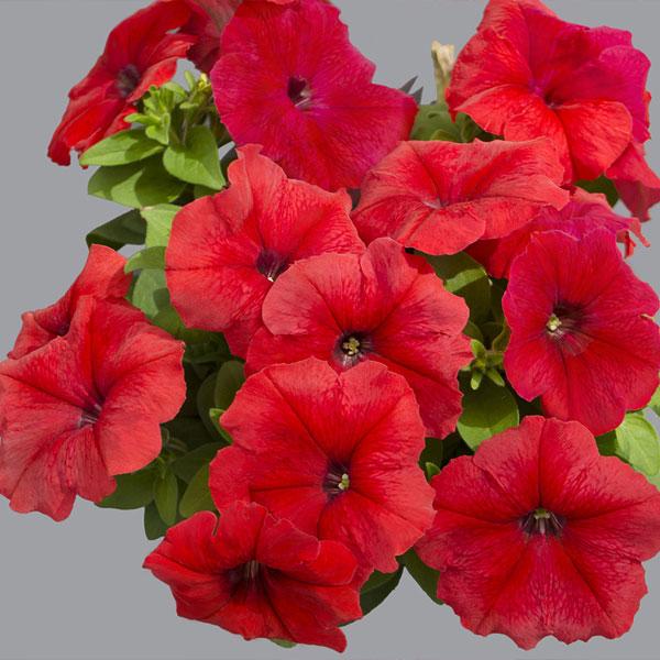 Фото-семена Петуния грандифлора Limbo F1 Red