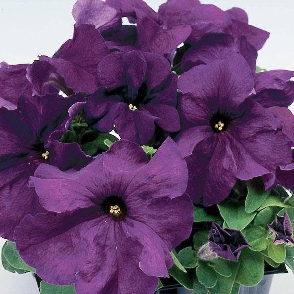 Фото-семена Петуния грандифлора Limbo F1 Deep Purple