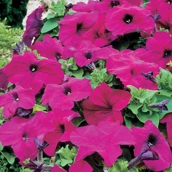 Фото-семена Петуния грандифлора Limbo F1 Violet