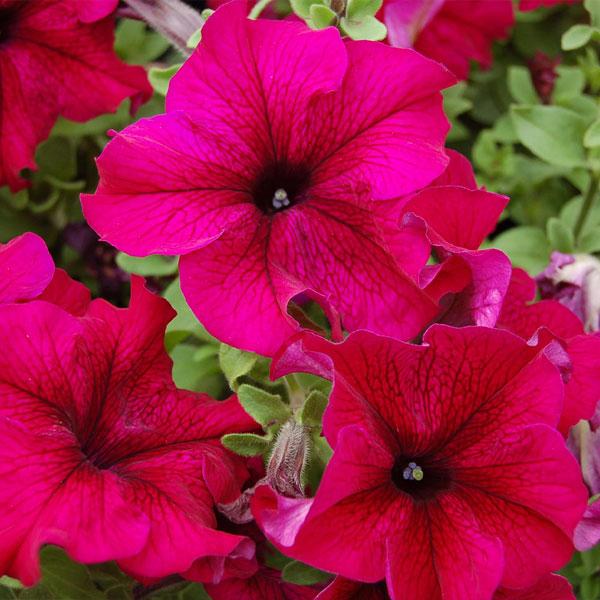 Фото-семена Петуния грандифлора Tango F1 Burgundy