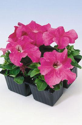 Фото-семена Петуния грандифлора Танго F1 Малиновая (Pink)