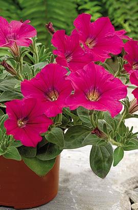 Фото-семена Петуния ампельная  Ramblin F1 Neon Rose