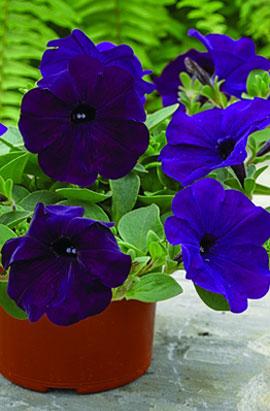 Фото-семена Петуния ампельная  Ramblin F1 Nu Blue
