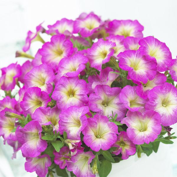 Фото-семена Петуния миллифлора Picobella F1 Rose Morn