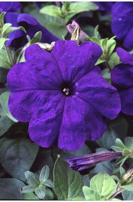 Фото-семена Петуния мультифлора Ламбада F1 Синяя (Blue)