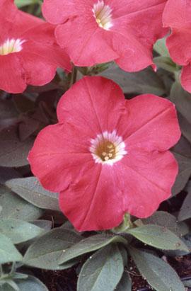 Фото-семена Петуния мультифлора Ламбада F1 Скарлет (Scarlet)