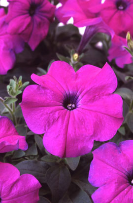 Фото-семена Петуния мультифлора Ламбада F1 Фиолетовая (Violet)