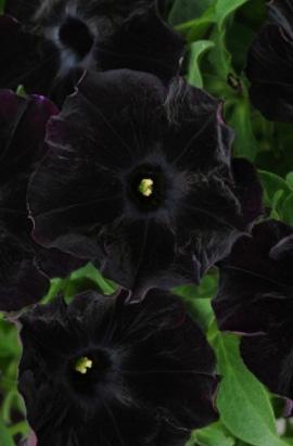 Фото-семена Петуния грандифлора Sophistica F1 Blackberry
