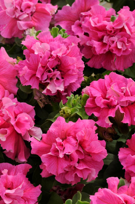 Фото-семена Петуния грандифлора махровая Double Cascade F1 Pink