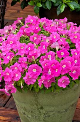 Фото-семена Петуния миллифлора Picobella F1 Pink