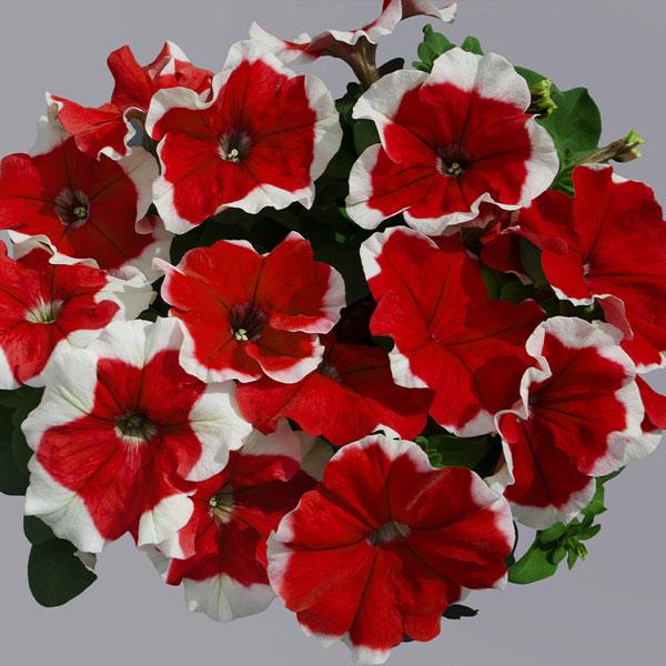 Фото-семена Петуния грандифлора Limbo F1 Red Picotee