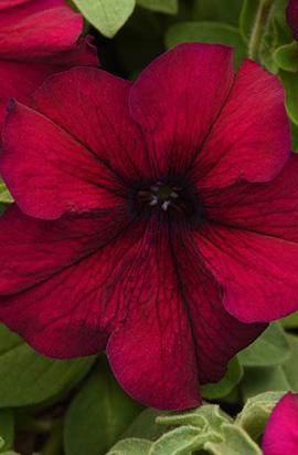 Фото-семена Петуния грандифлора SUPERCASCADE F1 Burgundy