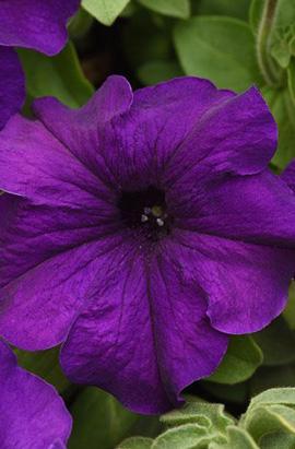 Фото-семена Петуния грандифлора SUPERCASCADE F1 Blue