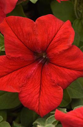 Фото-семена Петуния грандифлора SUPERCASCADE F1 Red