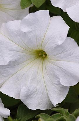 Фото-семена Петуния грандифлора SUPERCASCADE F1 White