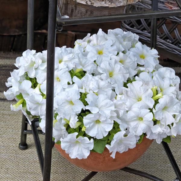 Фото-семена Петуния грандифлора Duvet®F1 White