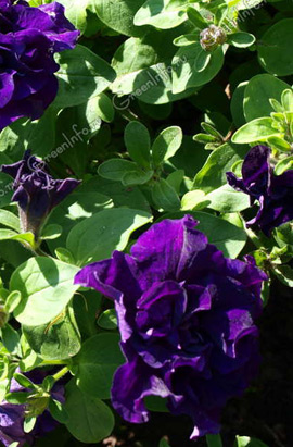 Фото-семена Петуния мультифлора махровая Duo F1 Blue
