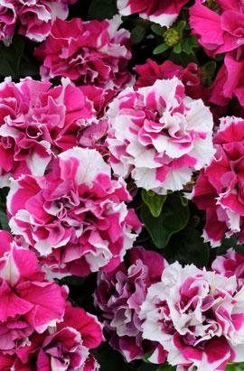 Фото-семена Петуния мультифлора махровая Duo F1 Rose White