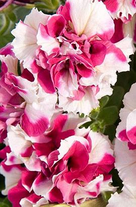 Фото-семена Петуния грандифлора махровая Pirouette  F1 Rose