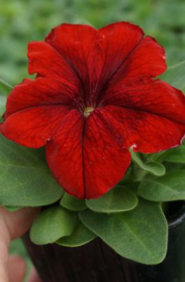 Фото-семена Петуния грандифлора Duvet®F1 Red