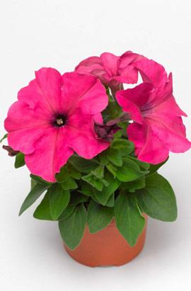 Фото-семена Петуния грандифлора Duvet®F1 Pink