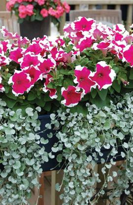 Фото-семена Петуния грандифлора Frost F1 Cherry