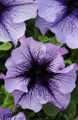Фото-семена Петуния грандифлора Daddy® Blue