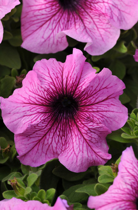 Фото-семена Петуния грандифлора Daddy® Orchid