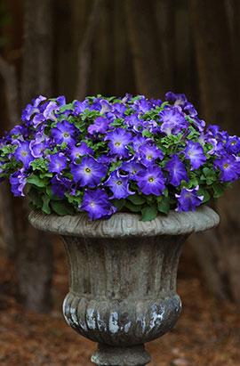 Фото-семена Петуния грандифлора Sophistica F1 Blue Morn