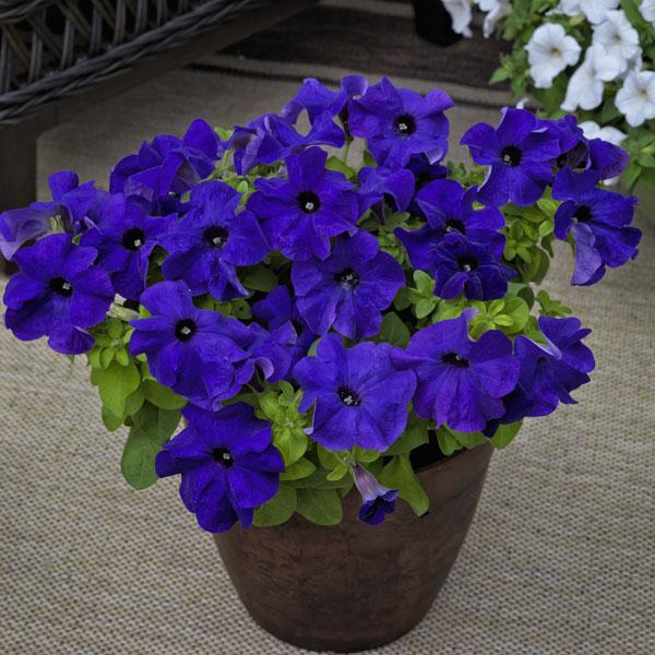 Фото-семена Петуния грандифлора TRITUNIA™ Blue