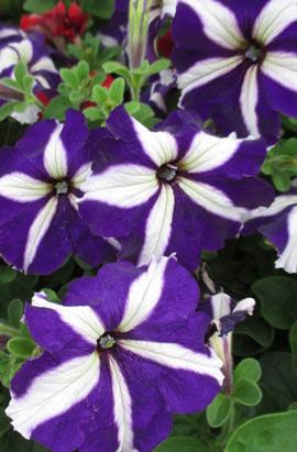 Фото-семена Петуния грандифлора TRITUNIA™ Blue Star
