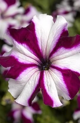 Фото-семена Петуния грандифлора TRITUNIA™Crimson Star