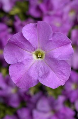 Фото-семена Петуния грандифлора TRITUNIA™Lavender